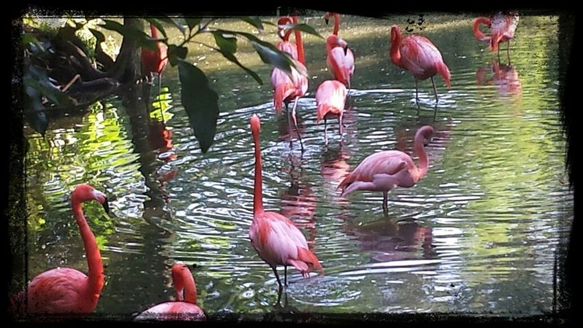 Flamingos at the Jacksonville Zoo and Gardens Flamingos Zoo Jacksonville Zoo Jacksonville Florida Pink The 00 Mission