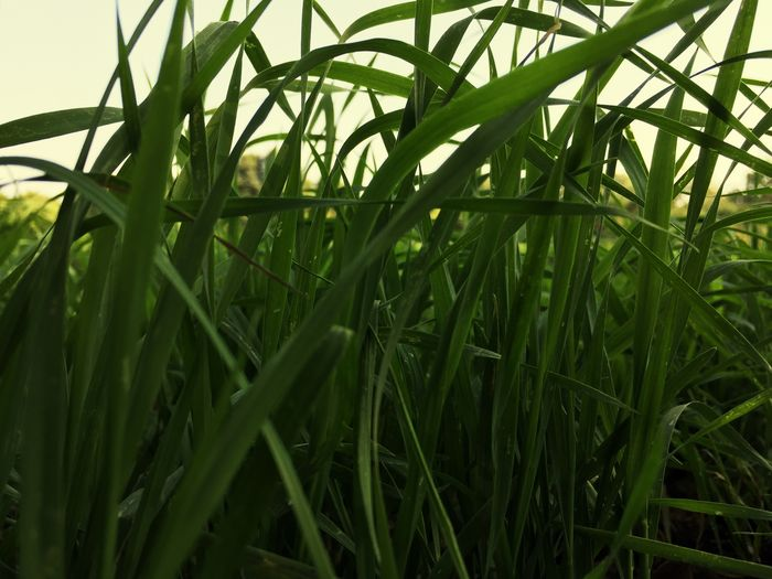 Grass Plant Growth Green Color Beauty In Nature Nature Leaf EyeEmNewHere