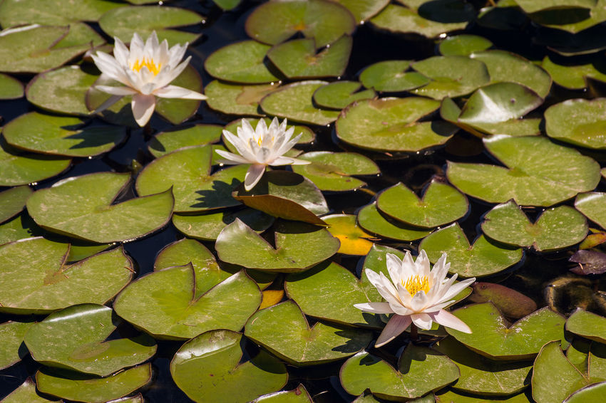 Waterlilies Diagonal France Green Provence Waterlilies Waterlily Beauty In Nature Blooming Floating On Water Flower Flower Head Fragility Freshness Lake Lily Pad Lotus Lotus Water Lily Pond Summer Vegetation Water Water Lily Water Plant Water Surface White
