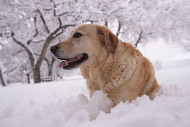Koda Labrador Animal Animal Themes Canine Cold Temperature Dog Domestic Domestic Animals Looking Away Mammal Mouth Open Nature No People One Animal Pets Profile View Purebred Dog Snow Winter Yellow