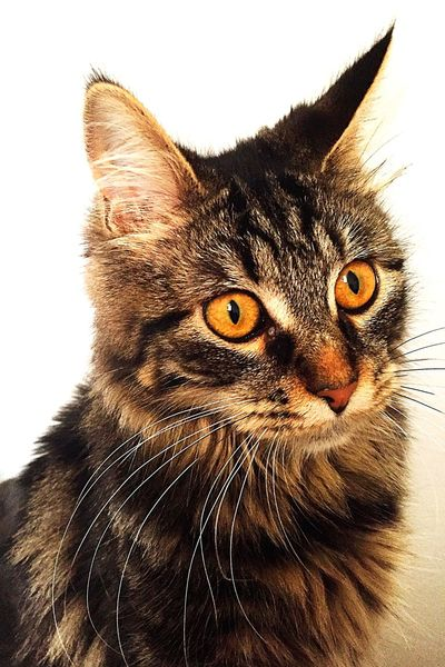 Mainecoon Maine Coon Femelle Female Lipsi 6months 6mois Eyes Mycat Cat Chat MonChat  Animal Animal Photography
