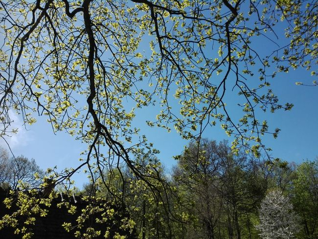Springtime in the Danish Countryside Sorø Denmark Danmark Danish Springtime Spring Countryside Danish Countryside Tree Branch Forest Clear Sky Backgrounds Sky Treetop Upward View Tree Area Dense Sightseeing Foliage Leaves Plant Life Blooming Growing In Bloom