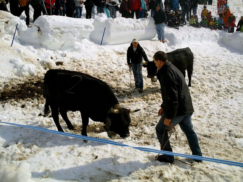 Eringer (Hérens) Cow fighting. animal-friendly Animal Themes Cold Cold Temperature Cow Cow Fighting Domestic Animals Eringer Kuh Mammal Snow Switzerland Two Animals Valais Wallis Winter