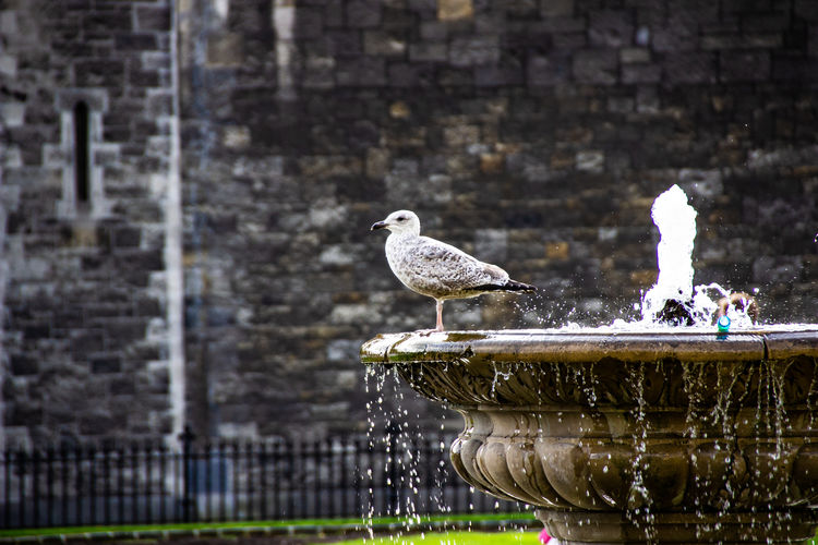 Seagull perching on a fountain