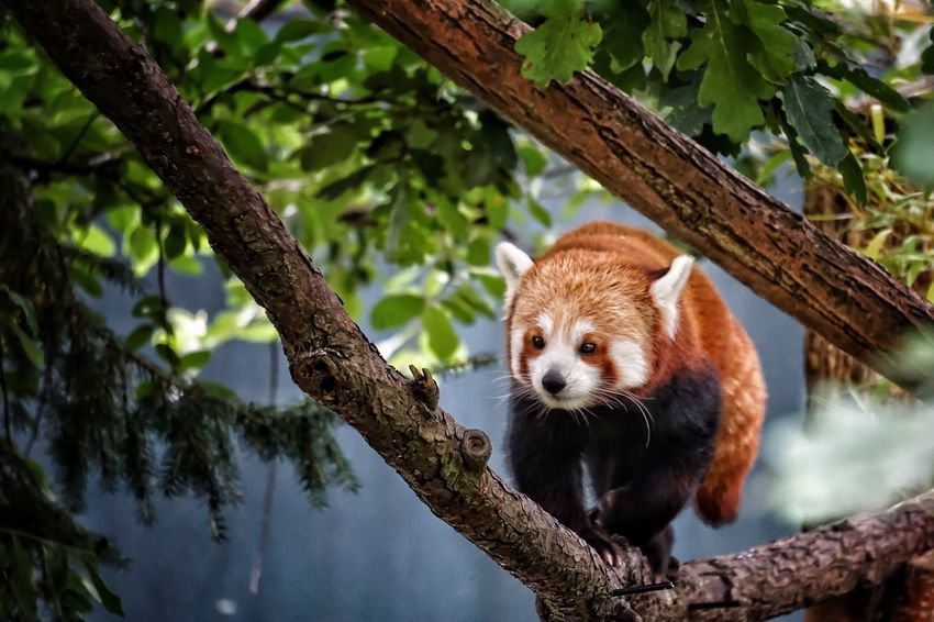 Red Panda Redpanda Animals Animal Animals In The Wild Animal Photography Cute Animals EyeEm Nature Lover EyeEm Gallery Beauty In Nature Eye4photography  Animal Themes Animal Head  Climbing Tree Climbing
