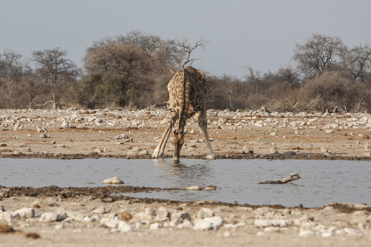 Giraffe drinking in waterhole against clear sky