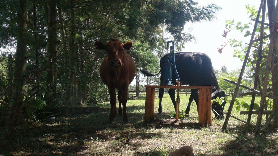 Animal Themes Cow Herbivorous No People One Animal