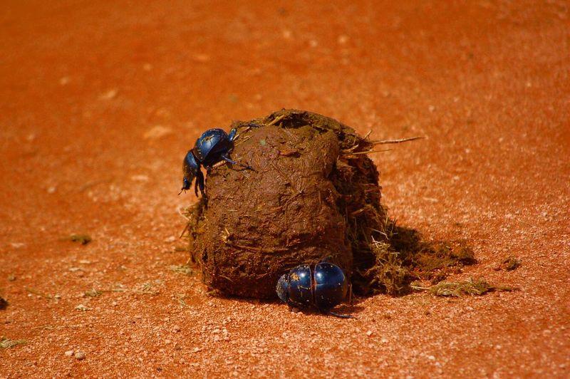 Close-up of dung beetles