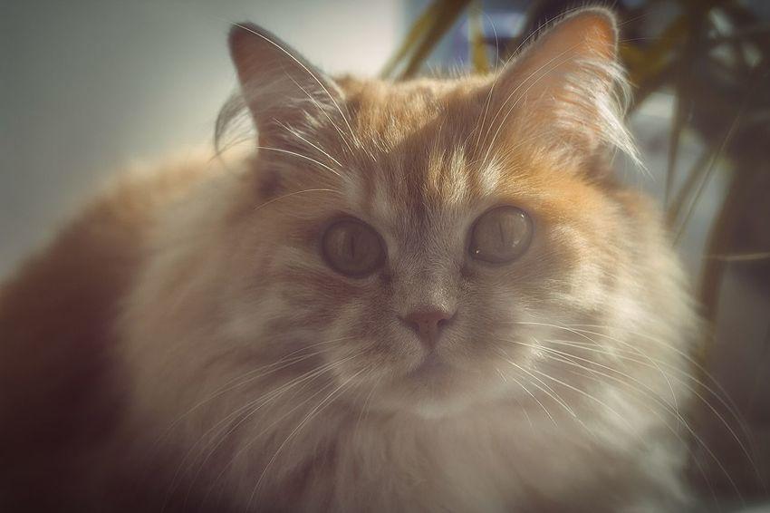 Cat Cats Mylove Orange Orange Color Orange Cat Animal Canon 550 D Canon 50mm F1.8 ıı Canonphotography Beautiful
