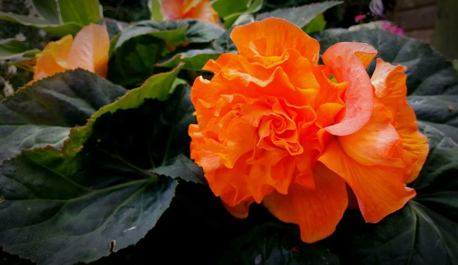 Begonia Begonia Flower Garden Orange Color Flower Bright Close-up No People Container Gardening Colour Of Life Gardening Garden Photography