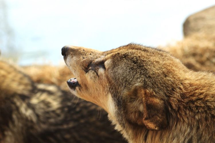 Close-up of howling wolf
