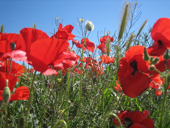 Close-up of poppy flowers against clear sky