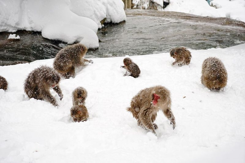 Winter Snow Cold Temperature Weather Animal Themes Nature Mammal No People Field Day Outdoors Beauty In Nature Togetherness Domestic Animals Snowmonkeys Jigokudani-Snow-Monkey-Park Nagano Prefecture,Japan Japanese Macaque Monkey Geology Christmastime Shigakogen  Travel Destinations Ski Holiday Snowboarding The Great Outdoors - 2017 EyeEm Awards Neighborhood Map