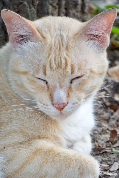 Animal Themes Animal Mammal Cat Pets One Animal Feline Vertebrate Domestic Domestic Cat Domestic Animals No People Relaxation Close-up Eyes Closed  Whisker Focus On Foreground Animal Body Part Day Sleeping Animal Head  Ginger Cat