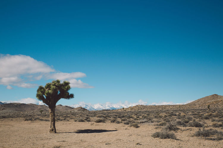 Joshua tree in desert against blue sky