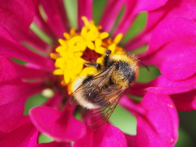 Animal Animal Themes Animal Wildlife Animals In The Wild Beauty In Nature Bee Bumblebee Close-up Flower Flower Head Flowering Plant Fragility Freshness Growth Inflorescence Insect Invertebrate No People One Animal Petal Pink Color Plant Pollen Pollination Vulnerability