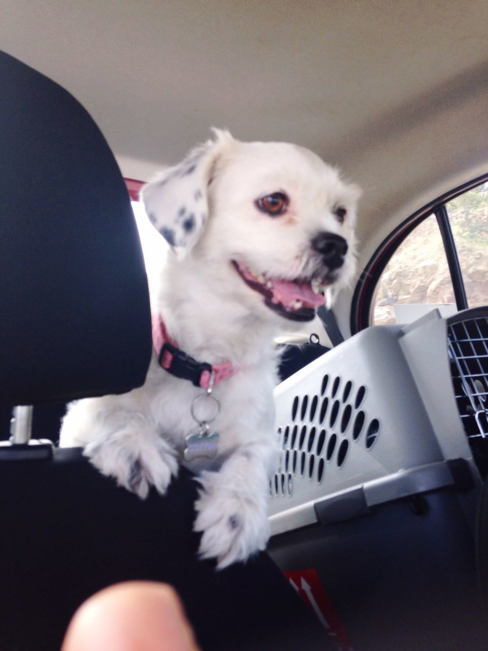 White Dog Sitting In Car