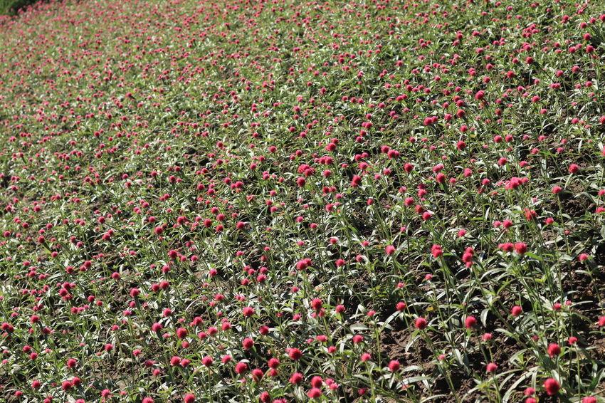 อุทยานหลวงราชพฤกษ์ Freshness Plant Flower Red Beauty In Nature Flowering Plant Field Nature Land Growth Day Full Frame No People Backgrounds High Angle View Abundance Grass Outdoors Food And Drink Food Flowerbed อุทยานหลวงราชพฤกษ์ ราชพฤกษ์