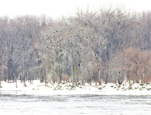 Eagles Winter Home. Plenty of fish! Great nesting site. Bald Eagle Cold Temperature Forest Illinois Its Cold Outside Mississippi River Nature No People Outdoors Outside Outside Photography River Snow Trees Landscapes With WhiteWall Weather Winter Eagle Eagles Bald Eagles Bald Eagle In Flight Riverside Photography Nature_collection Forest Photography Nature Lover