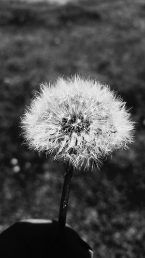 (Black&white version) Fragility Flower Nature Dandelion Beauty In Nature Freshness Outdoors Close-up Growth Grass Plant Colorado Freshness Taking Photos Tranquility Enjoying Life Plants 🌱 Blackandwhite Photography