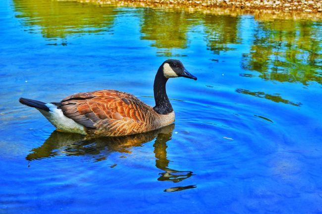 Bird Water Swimming Lake Reflection Reptile
