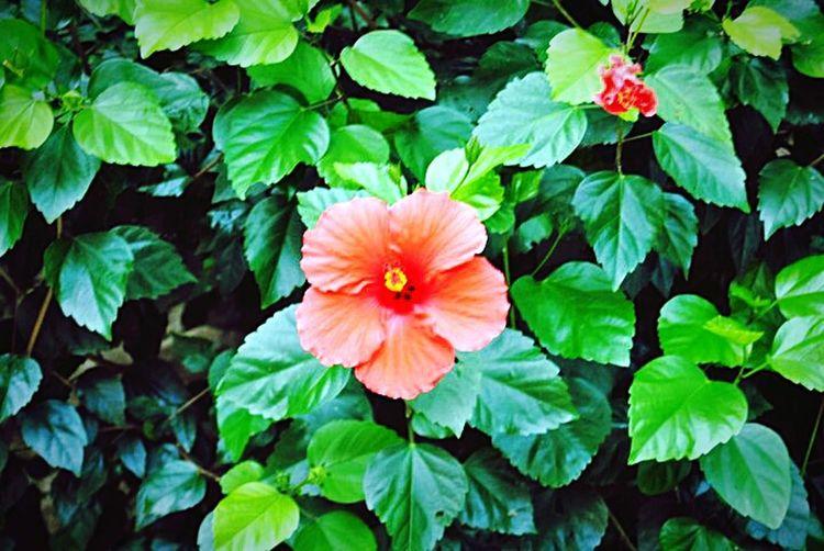Côte D'Azur Provence Menton Jardinbotanique Jardins Rameh Menton Jardins Rameh Hibiscus Jardins Hibiscus 🌺 Hibiscus Flower