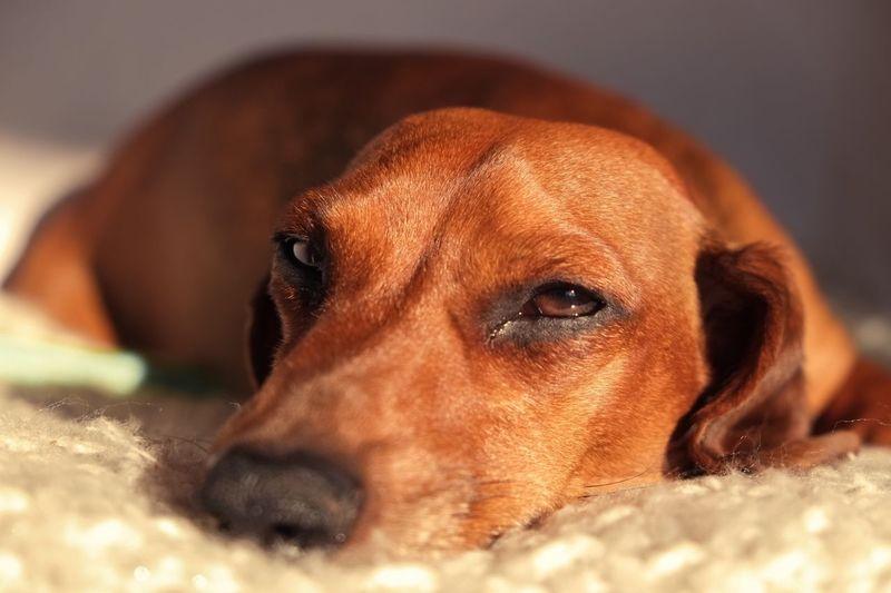 Dachshund Dackel Dackelblick Hund Hunde Dog Dogs Dogs Of EyeEm Dog Portrait Animal Portrait Market Reviewers' Top Picks