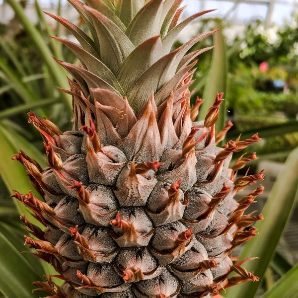 Pineapple Ananas Plant Nature Frukt Food Greenhouse Focus On Foreground Plant Close-up Indoors  Green Color