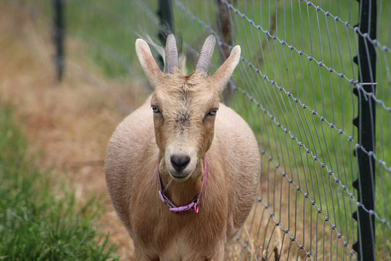 animal themes, animal, one animal, mammal, animal wildlife, looking at camera, no people, portrait, day, animals in the wild, deer, vertebrate, fence, boundary, grass, barrier, nature, focus on foreground, herbivorous, front view, outdoors, mouth open, animal head