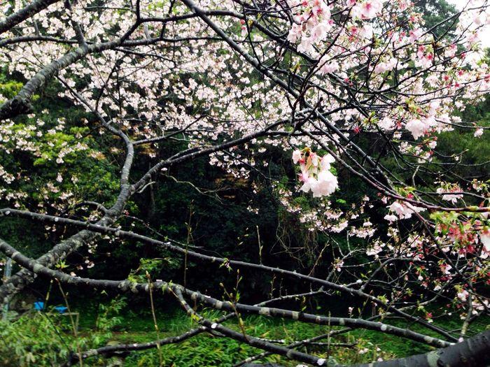 何日再相見 Sakura Trees Flowers Welcher Tag wieder zu treffen