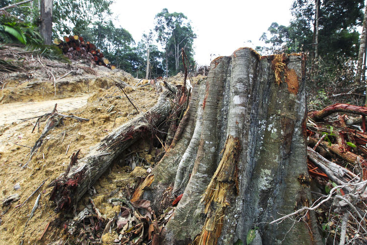 Forest trees are cut down Bark Close-up Day Deforestation Environmental Issues Field Forest Growth Land Log Nature No People Outdoors Plant Timber Tranquility Tree Tree Trunk Trunk Wood Wood - Material