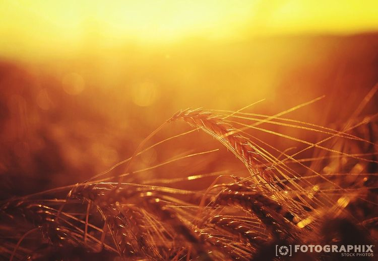 Goldenes Korn Kornfeld Sonnenuntergang Sonnenschein  Sunnyhaze Corn
