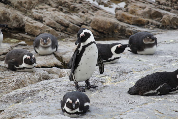 View of penguins on rocks