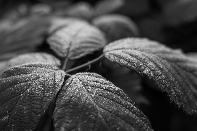 Close-up Nature Plant Leaf Frost Crystal Outdoors December 2016 Winter Igensdorf B&w Focus Blurry Backgrounds No People Beauty In Nature Full Frame Fragility 2.0  Canon650d