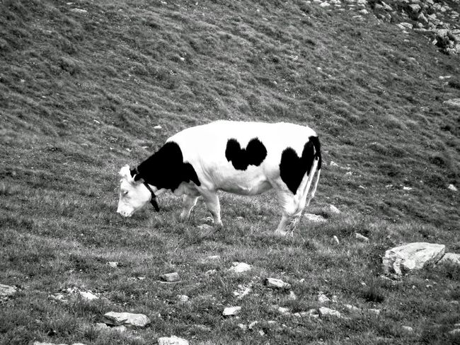 Blackandwhite Photography Cow Nature Photography Animal Photography