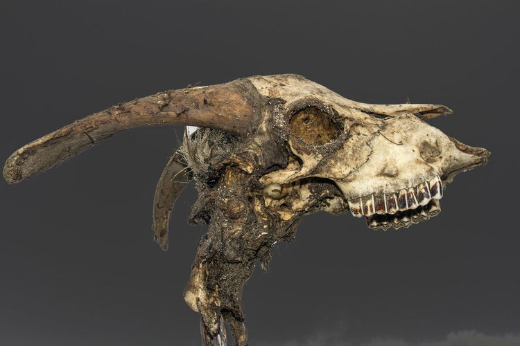 Animal Body Part Animal Skeleton Animal Skull Animal Themes Black Background Comes Pyrénéées Orientales Crane Crane Of Goat Dinosaur Extinct Fossil France Goat No People Paleontology