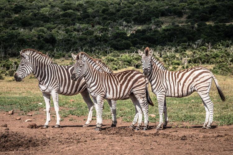 Zebras standing on zebra land