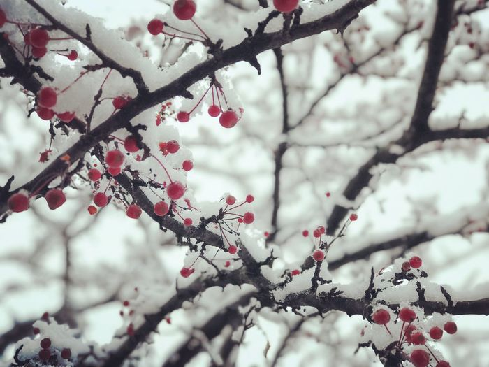 Tree Branch Snow Cold Temperature Winter Plant Beauty In Nature Nature No People Flower Blossom Flowering Plant Outdoors Fragility Day Focus On Foreground Growth Frozen Freshness White Color