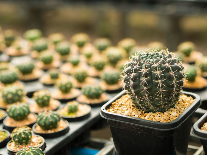 Close-Up Of Cacti In Seedling Tray