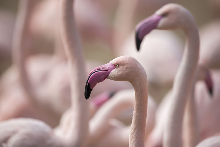 Greater flamingo / Phoenicopterus roseus [Canon EF 300mm f/2.8 L IS II USM]