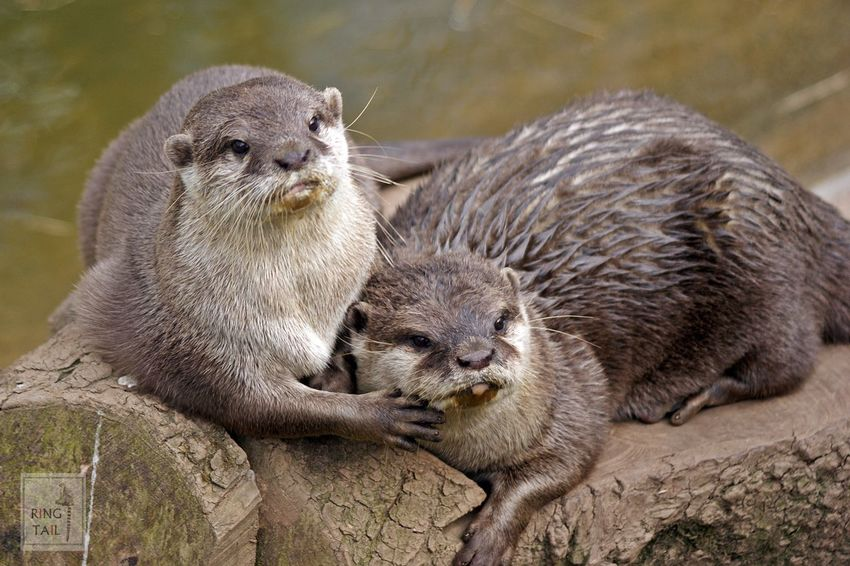 Animal Family Animal Themes Mammal Otters Togetherness Two Animals Wildlife Wildlife & Nature