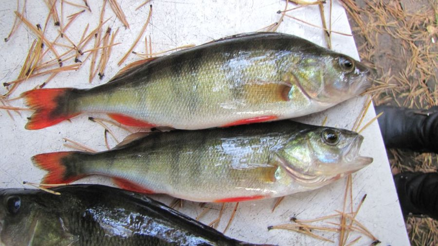 Perch Bass Fish Fishing Check This Out Рыбалка рыба рыбак рыбка рыбки