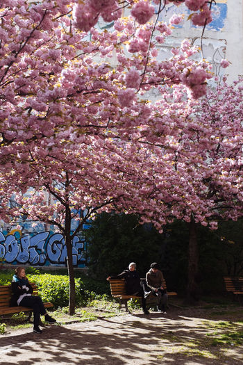 Trees with pink flowers in foreground