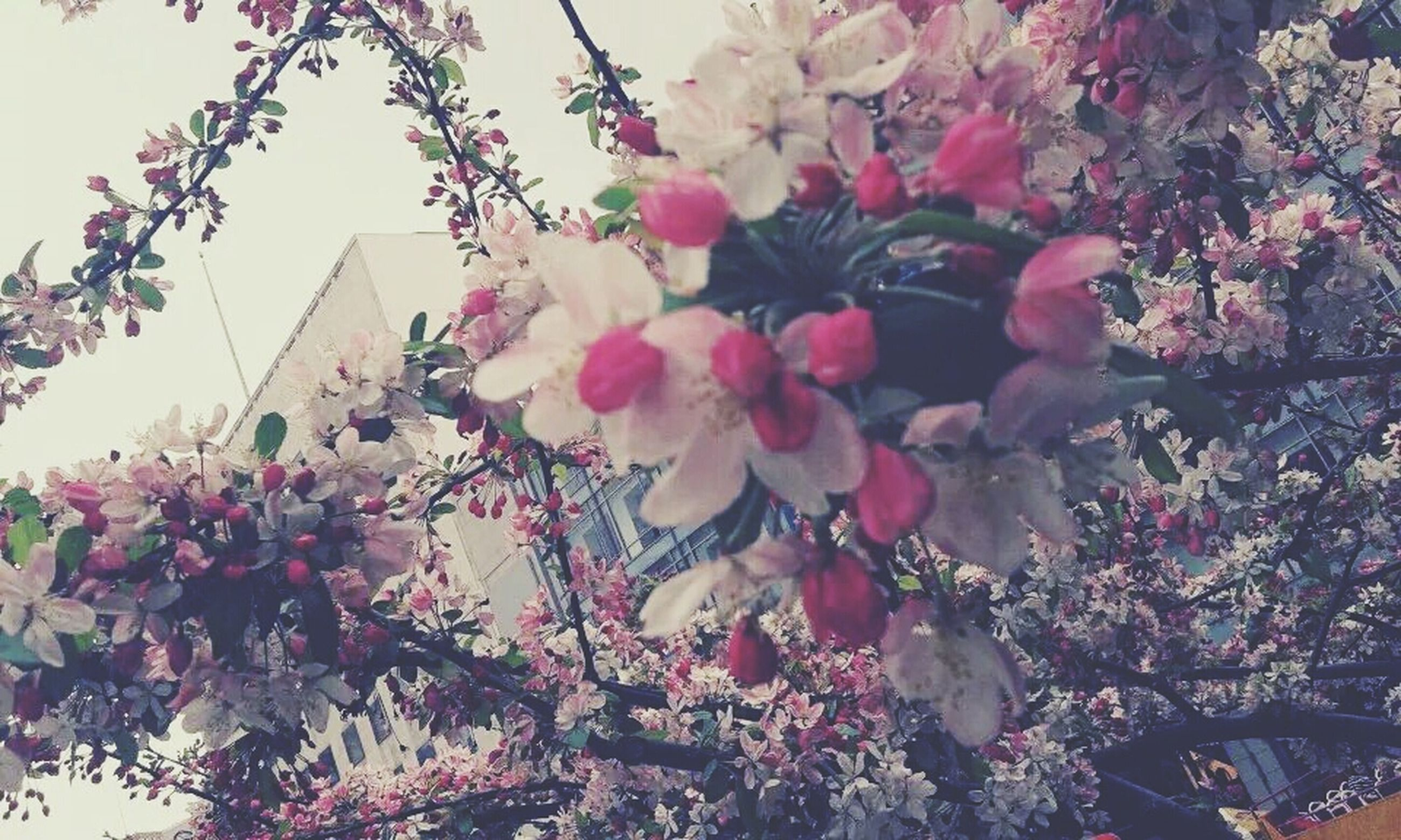 flower, building exterior, pink color, low angle view, growth, built structure, architecture, freshness, fragility, tree, branch, nature, blooming, blossom, clear sky, beauty in nature, petal, in bloom, plant, day
