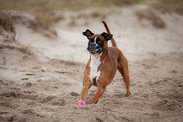 Dog running on beach  switch  funny face