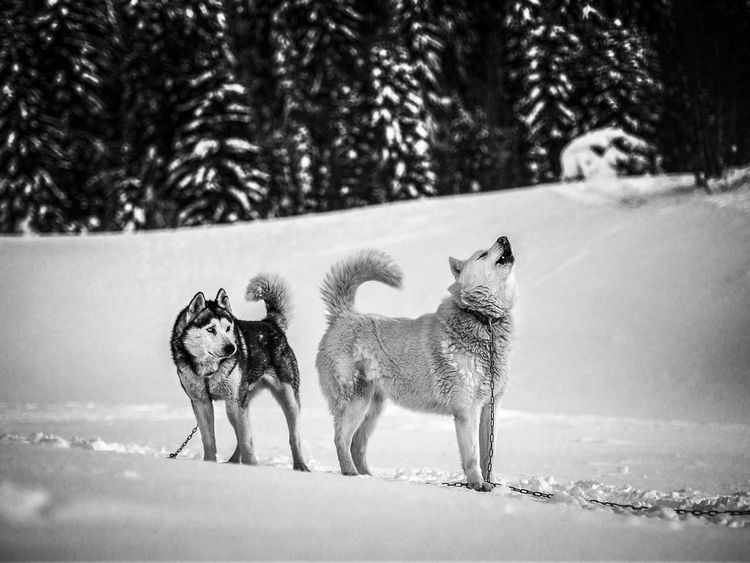 Alertness Animal Beauty In Nature Day Dog Dogsledding Field Focus On Foreground Howl Husky Huskyphotography Landscape Mammal Nature Nature Photography Nature_collection Naturelovers No People Outdoors Portrait Season  Selective Focus Weather Feel The Journey Original Experiences