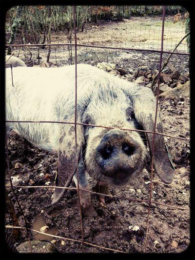 Pig animalphoto Enjoying Life