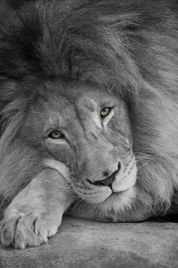 Dicen que los ojos son el reflejo del alma... Lionking Black & White