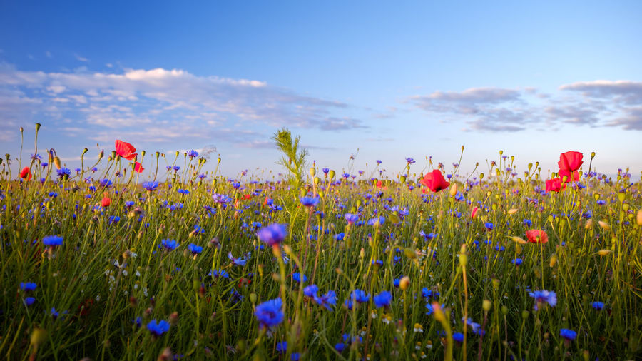 EyeEmNewHere Beauty In Nature Blooming Blue Day Field Flower Fragility Freshness Green Color Growth Landscape Nature No People Plant Poppy Rural Scene Scenics Sky Spring Summer Tranquil Scene Tranquility Uncultivated
