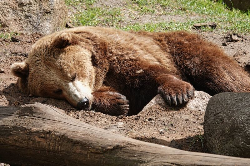 Brown Bear Bear Animal Themes Animal Mammal Animals In The Wild Relaxation Animal Wildlife Vertebrate One Animal Sunlight Nature No People Day Sleeping High Angle View Lying Down Resting Land Zoo Outdoors Field